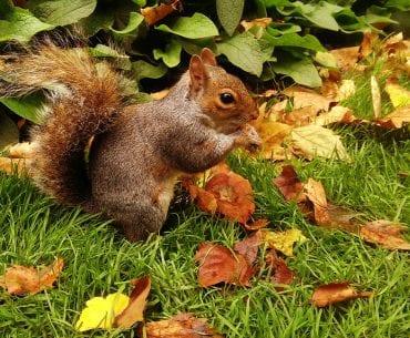 Eichhörnchen in London