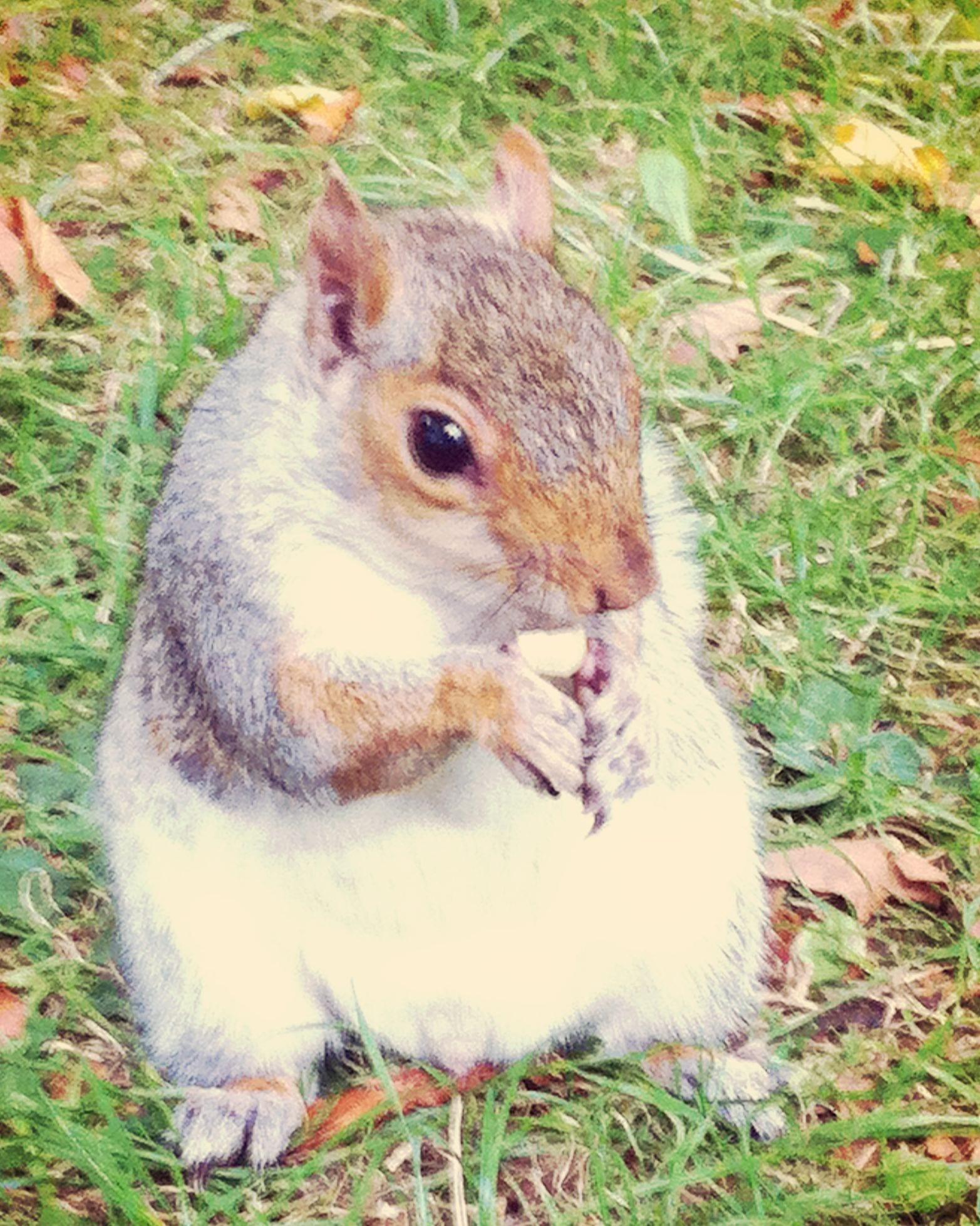 Eichhörnchen London
