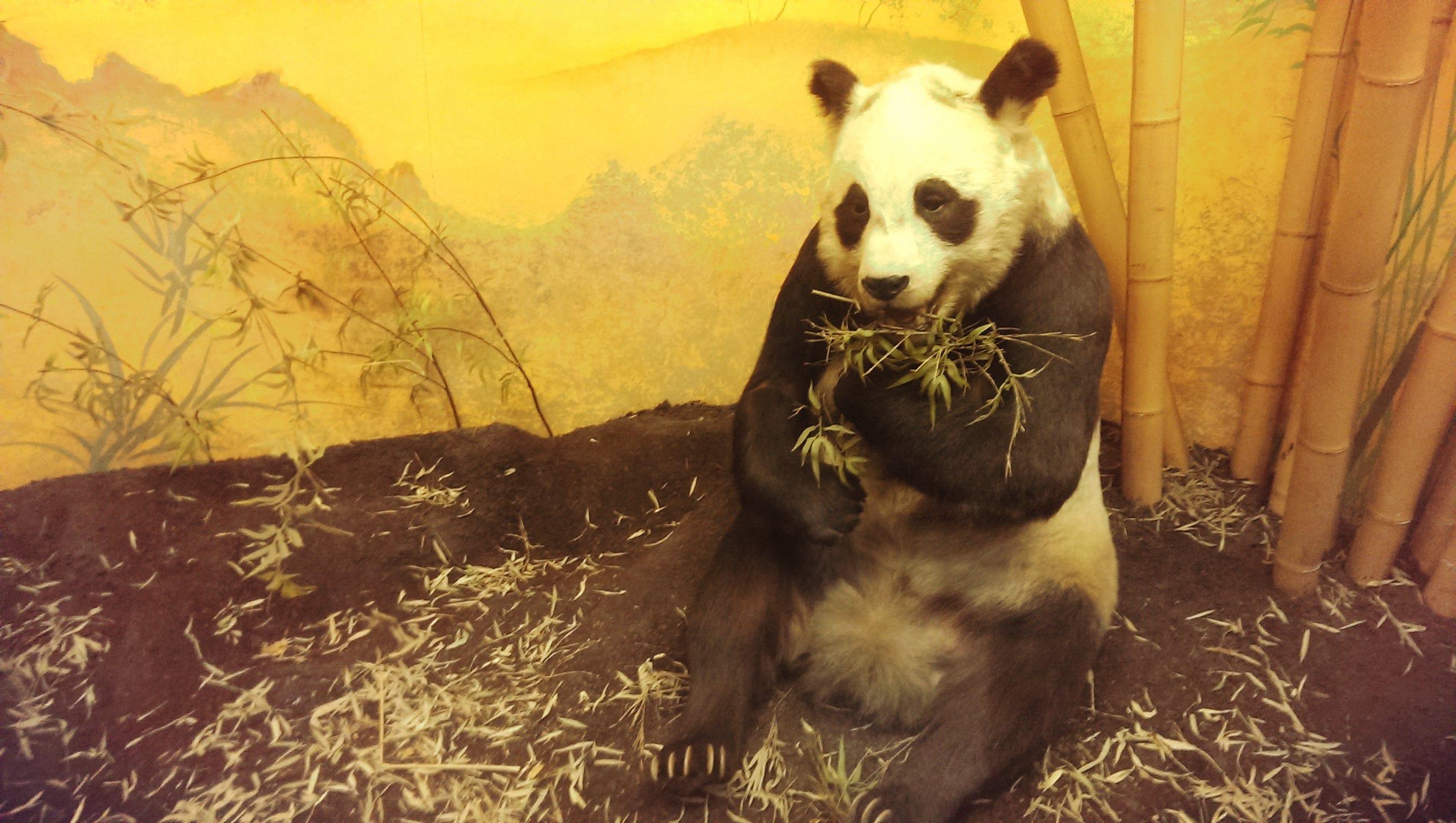Täuschend echt: Ein ausgestopfter Panda