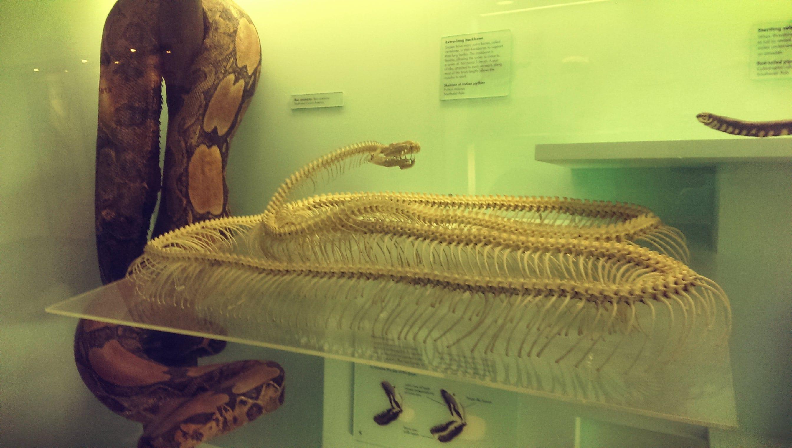 Ich wusste gar nicht, dass Schlangen auch Knochen haben :O