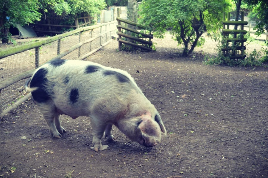 Schweine auch