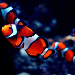 sea-life-london-clownfisch