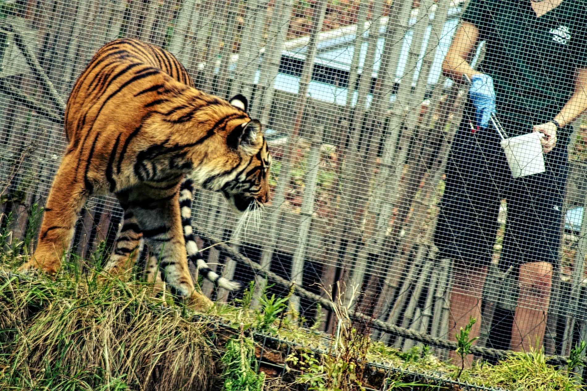 london-zoo-tiger-fuetterung-1.jpg